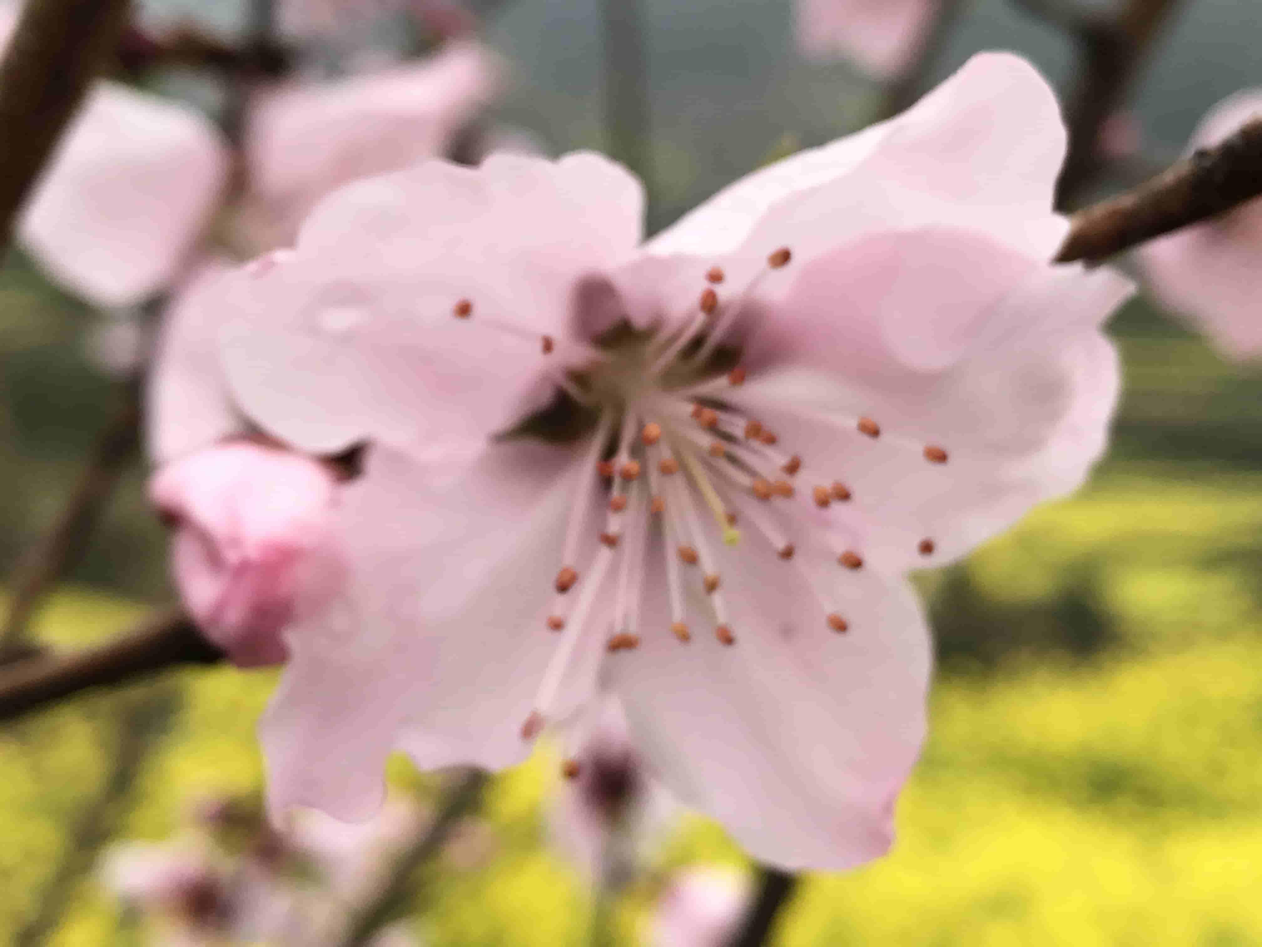 盛開的桃花
