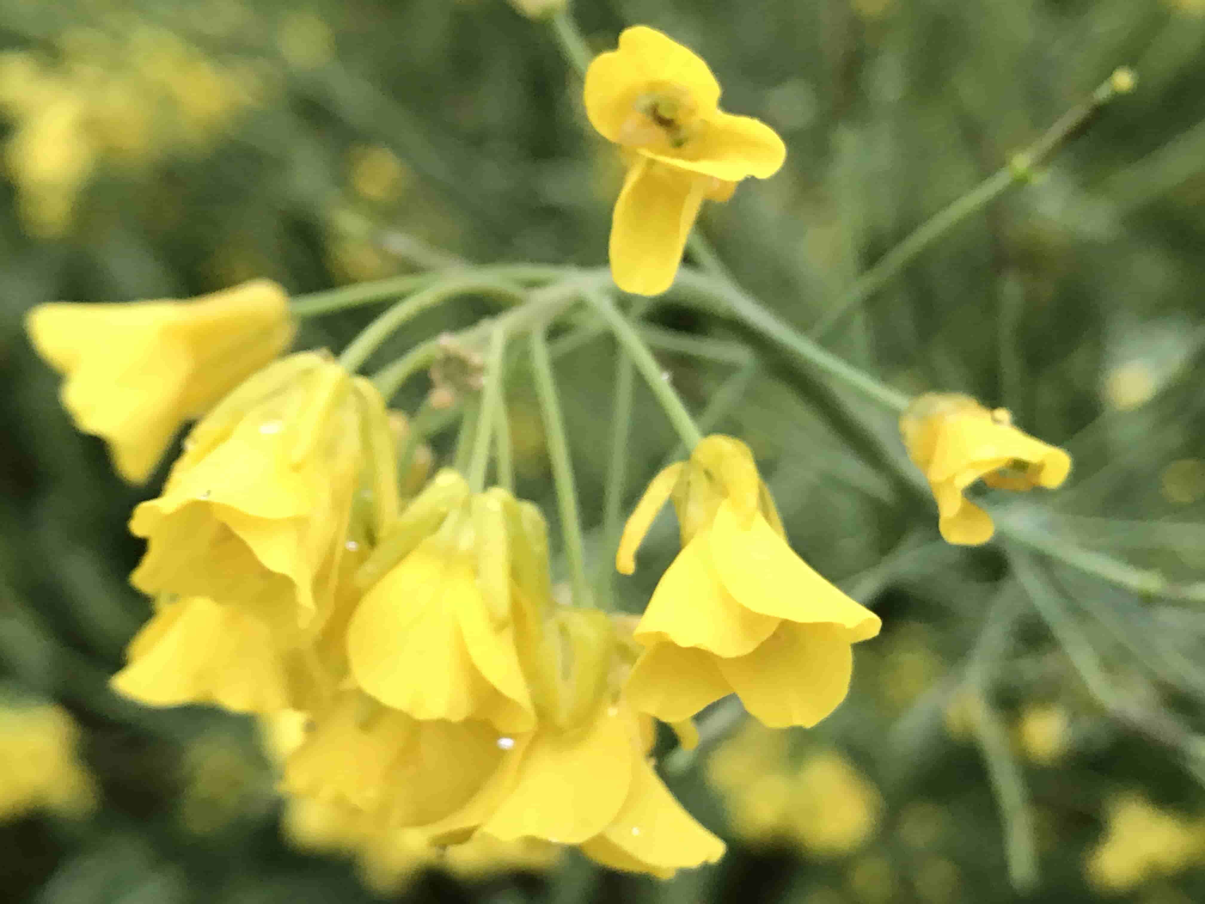 李坑油菜花
