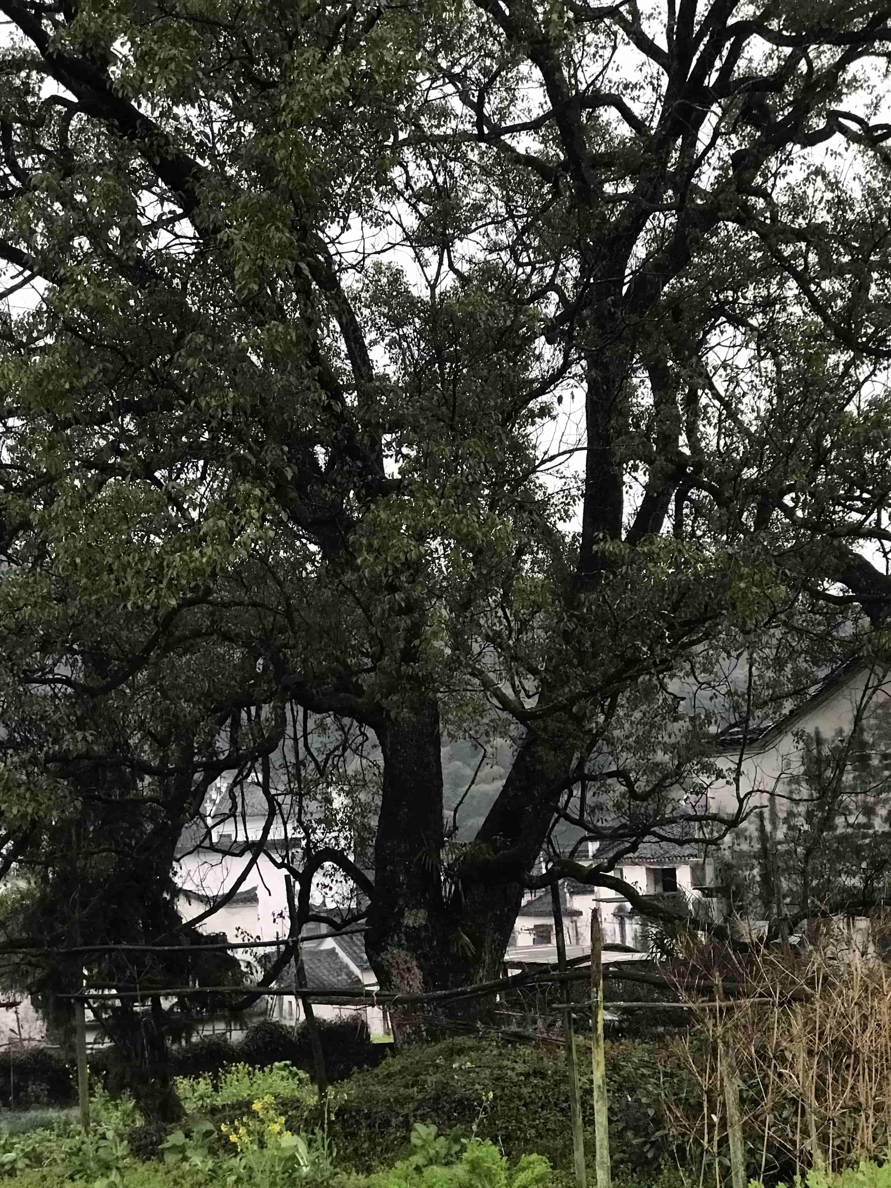 李坑最大的樟樹