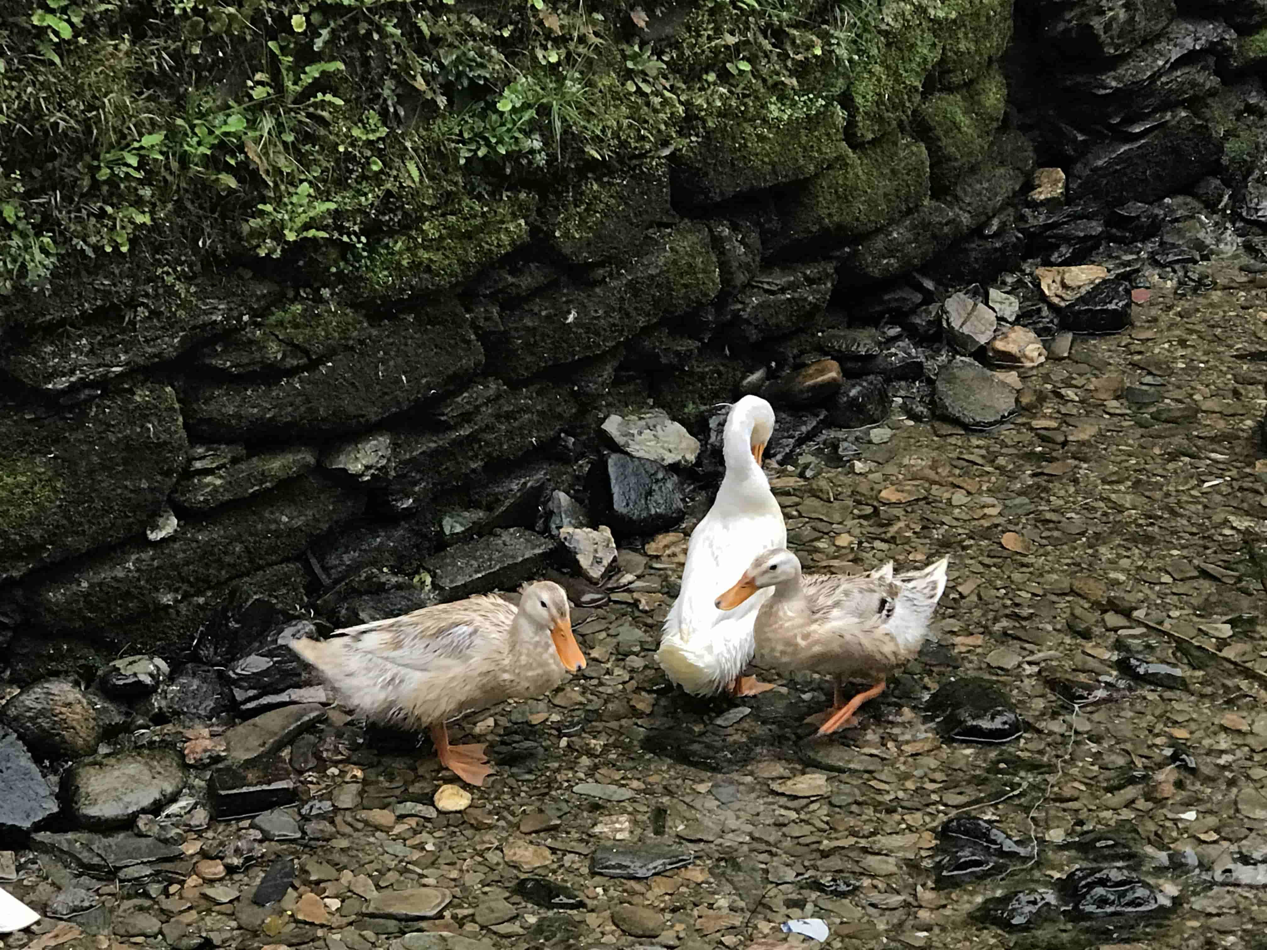 有趣的鴨群三